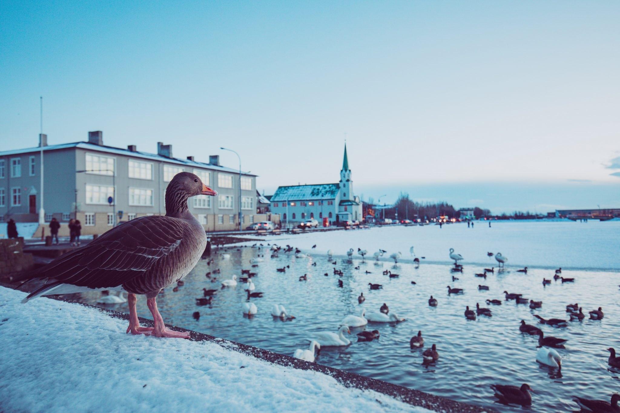 Ducks on Reykjavik pond